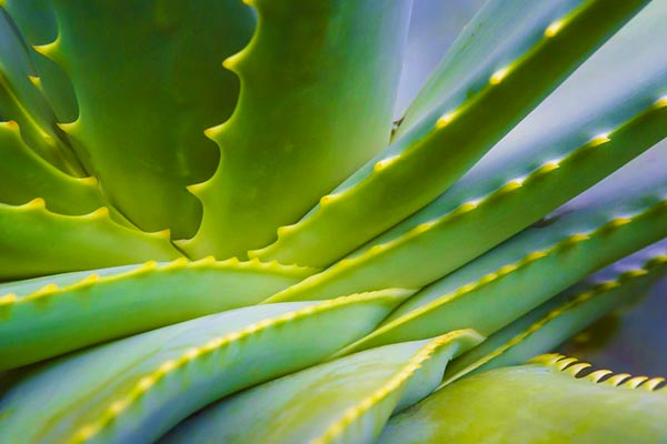 7 Amazing properties of aloe vera