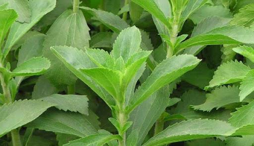 استویا چیست؟ استویا نوعی گیاه با طعم شیرین است.